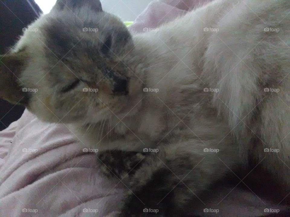 Sleepy Siamese