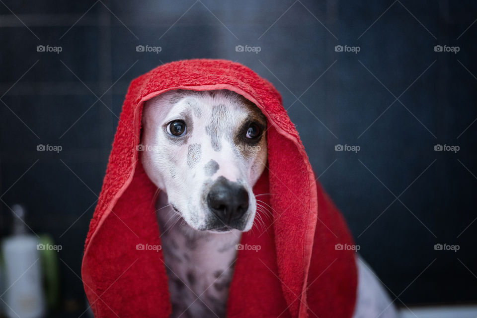 Close-up of wet dog with towel on head