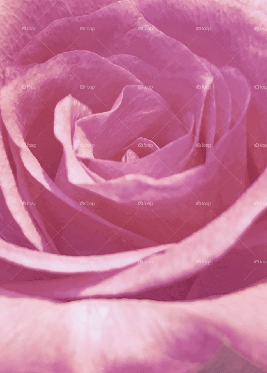 Pale pink rose, close up photo of petal bloom