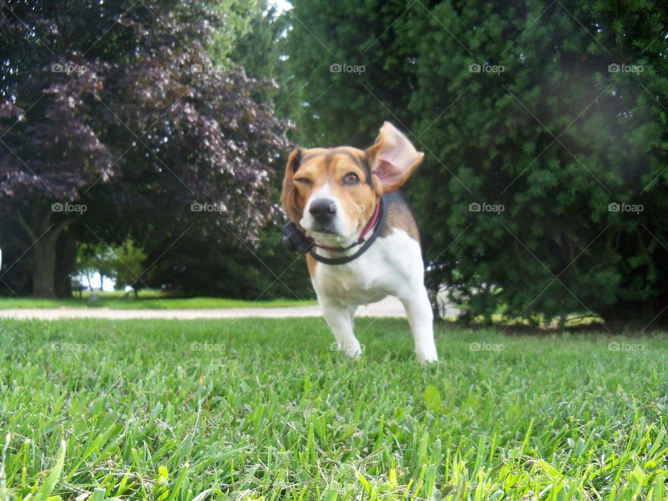 running through the yard with his ears flapping in the wind