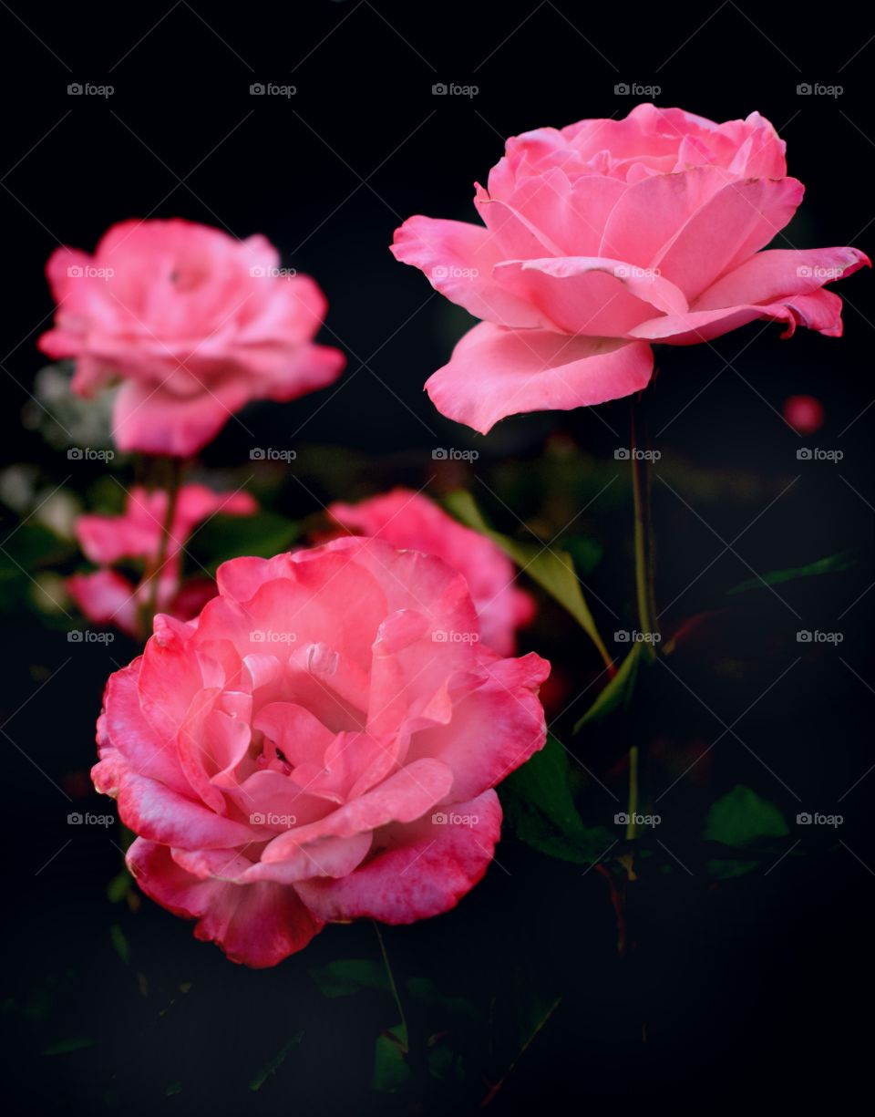 Luxury pink roses on a dark background