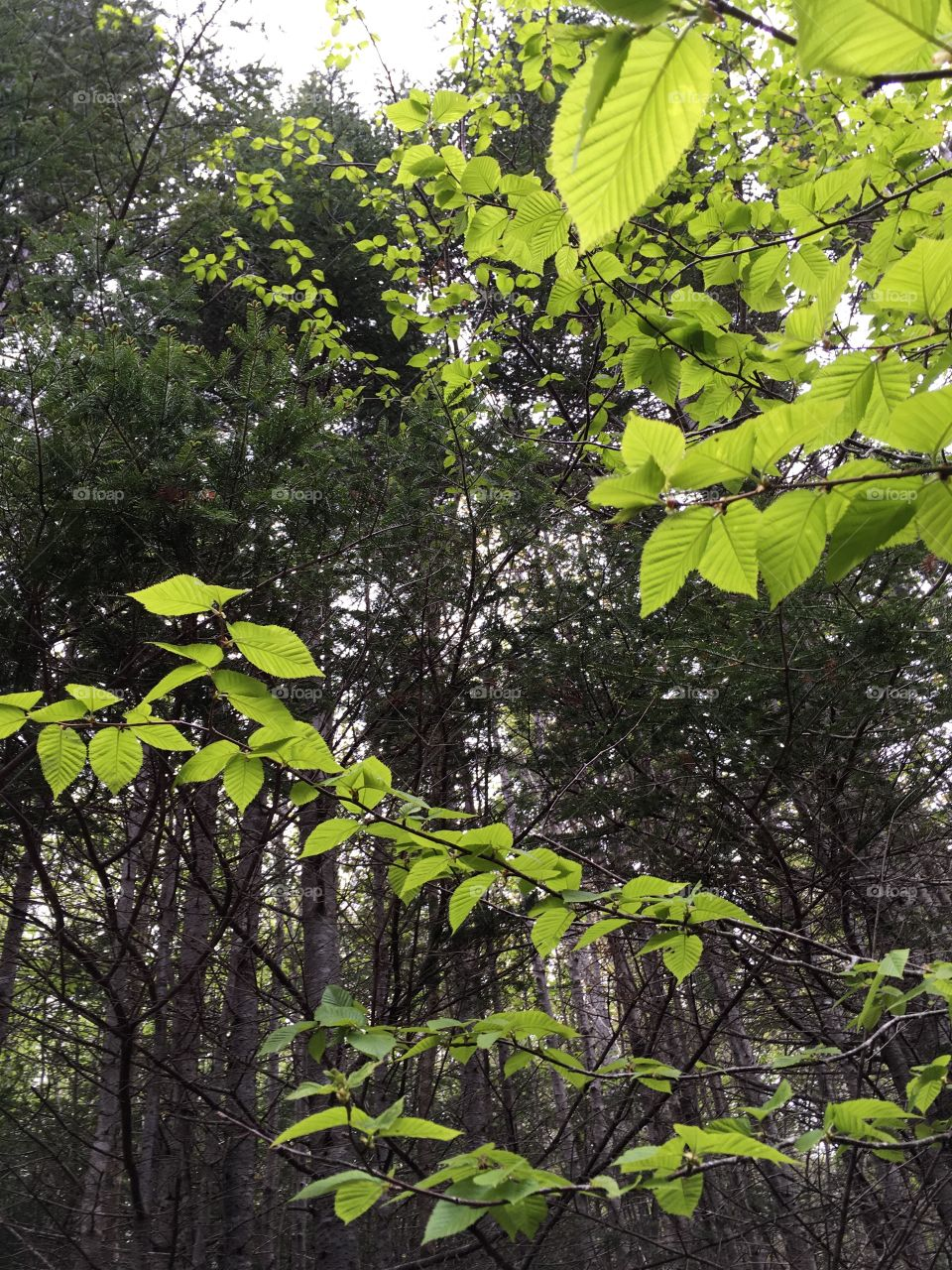 Leaves and trees in the forest.  Hiking in the woods.