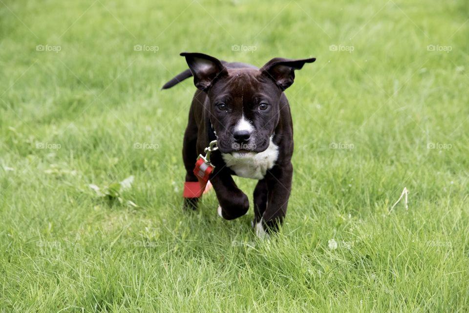 Cute happy little puppy dog running in the grass  - gullig söt liten amstaff hundvalp springer i gräset