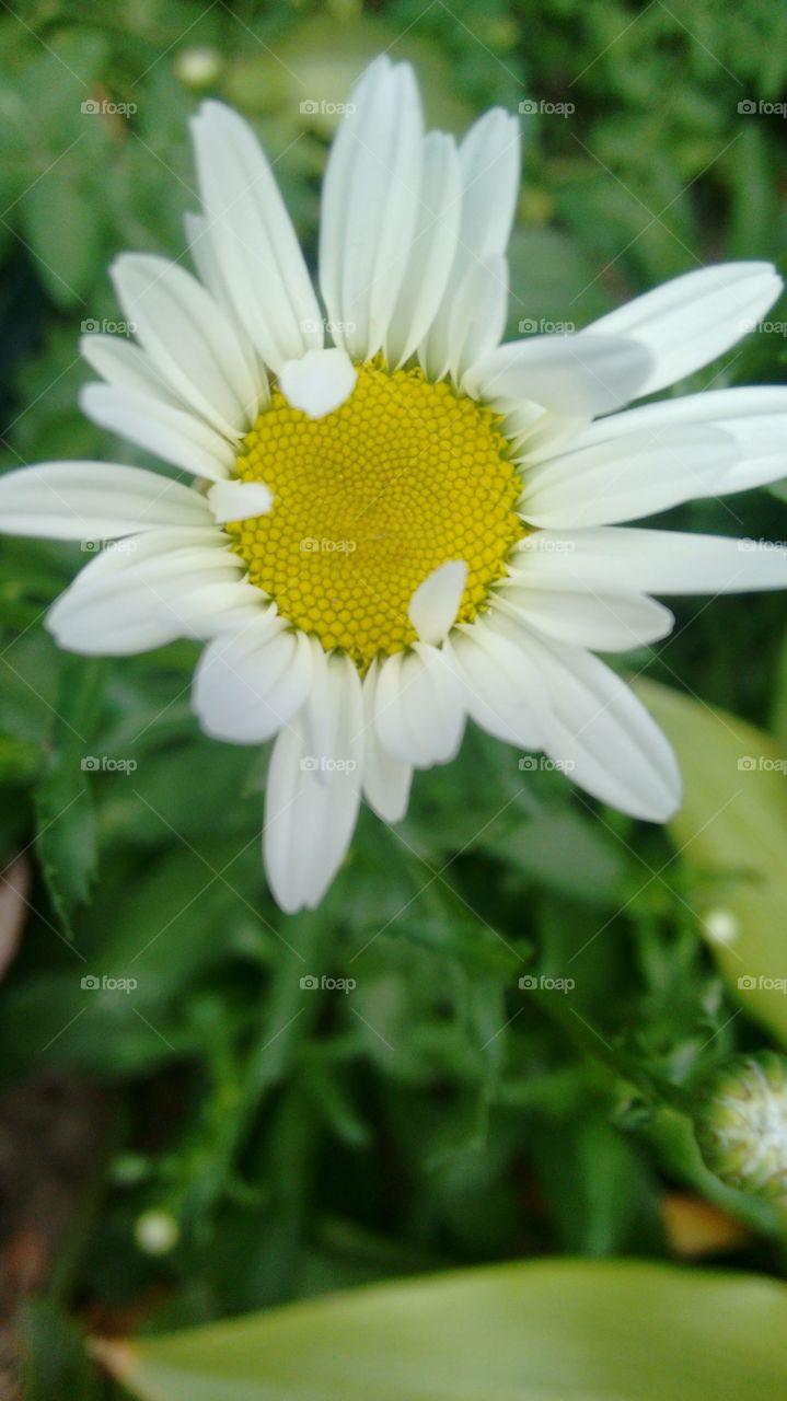 flor (Margarida)