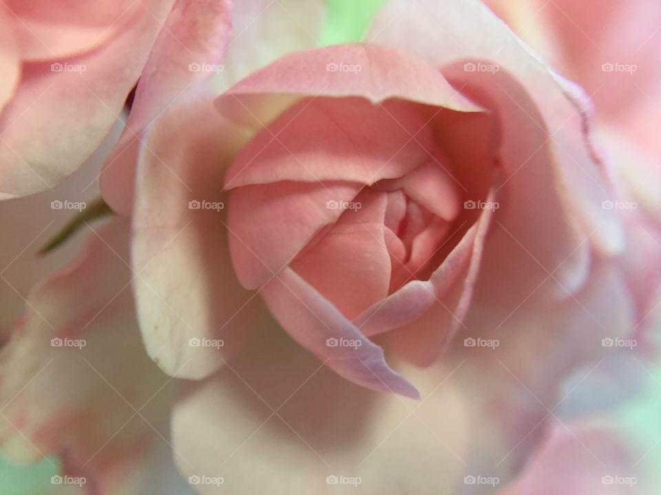 Closeup of delicate pink rose
