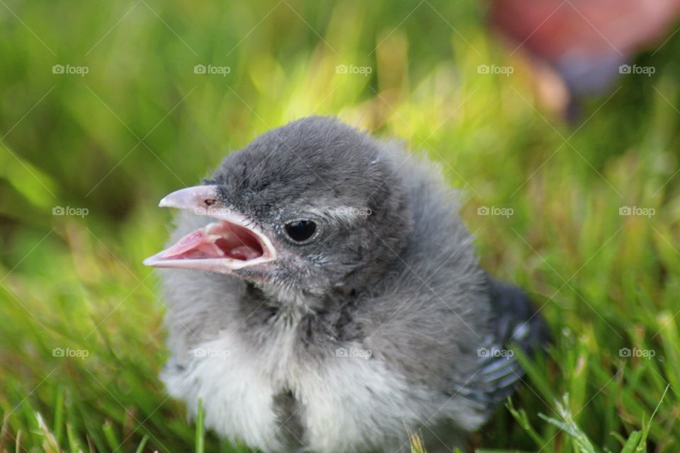 Little Grey and White Baby Bird, looking for mommy for food.