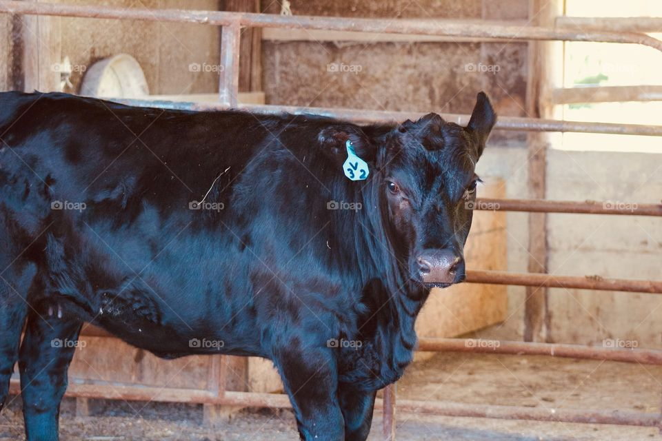 Side view of a black heifer, one ear raised,  standing in a barn next to a cattle panel