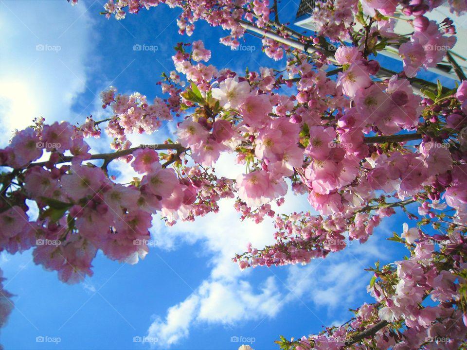 Sakura Flowers sky outdoor pink