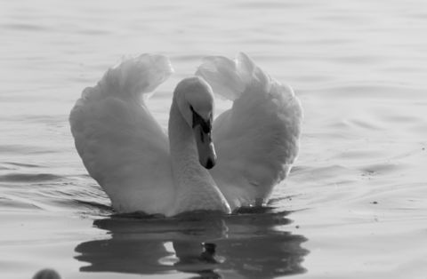 A white swan in a shape of heart in Black Sea waters near Varna, Bulgaria.