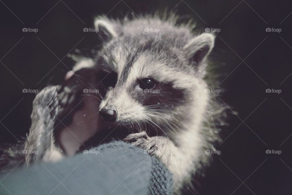 Close-up of baby raccoon