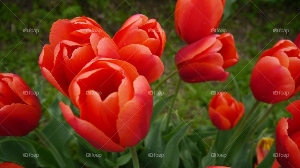 Orange Tulips. Skagit Valley Tulip Festival. April 2016