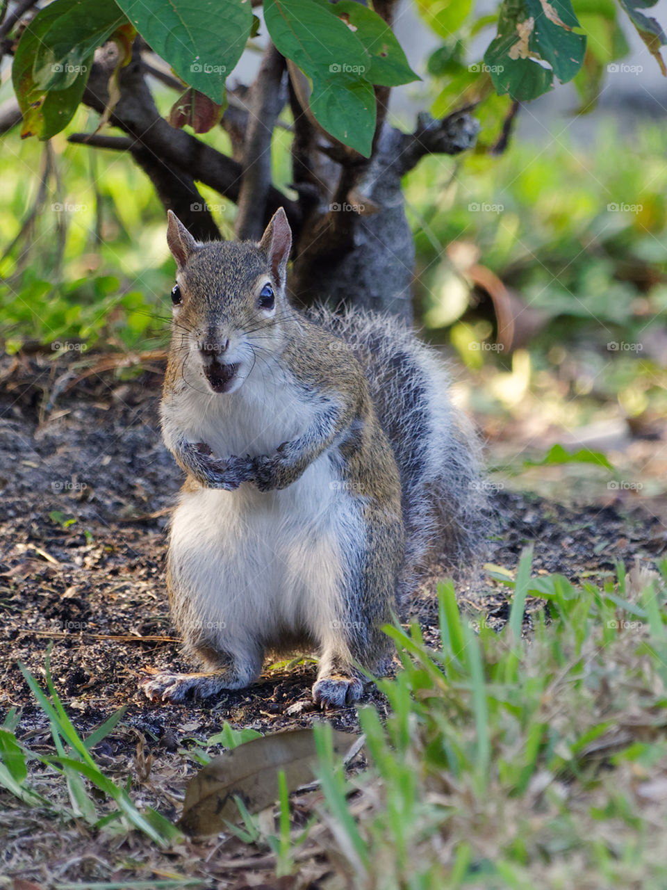 Eastern Gray Squirrel standing on two rear paws on the ground. It's mouth in stuffed with an acorn. Front paws held up to it's chest.