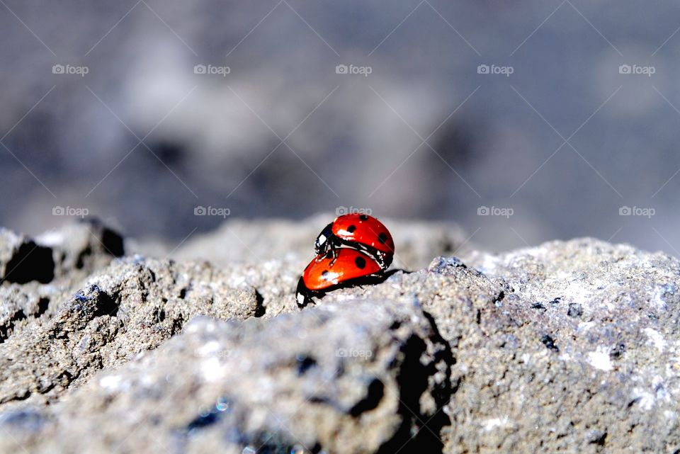 Pair of ladybirds mating on rock