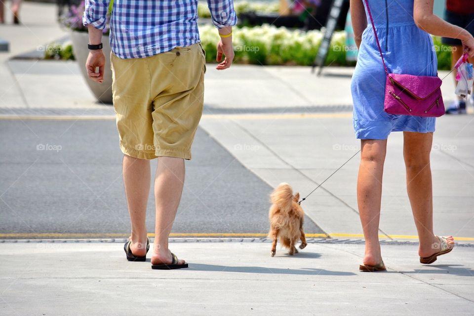 Little Pomeranian on a walk