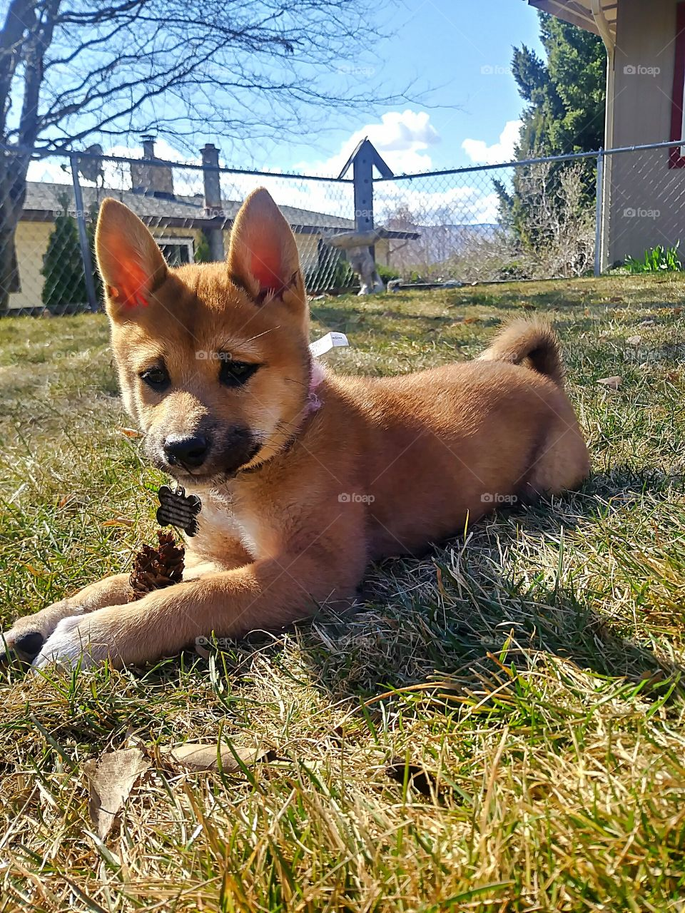 An adorable Shiba Inu pup playing with a pinecone outside