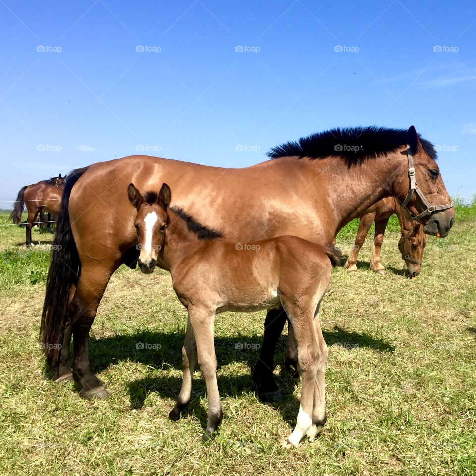 A two weeks old colt with mare, hourse baby girl with mom