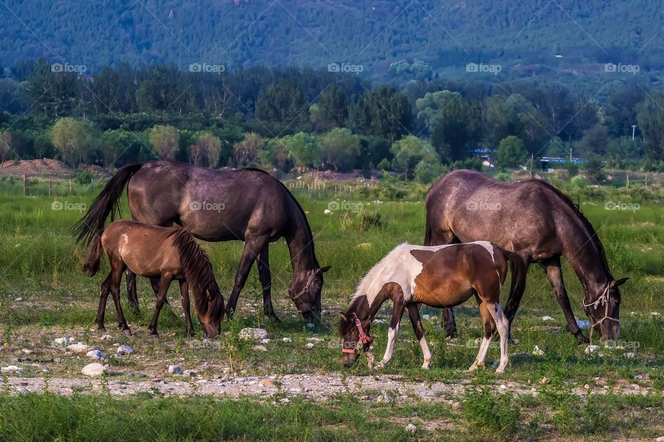 Female horses and their foals.