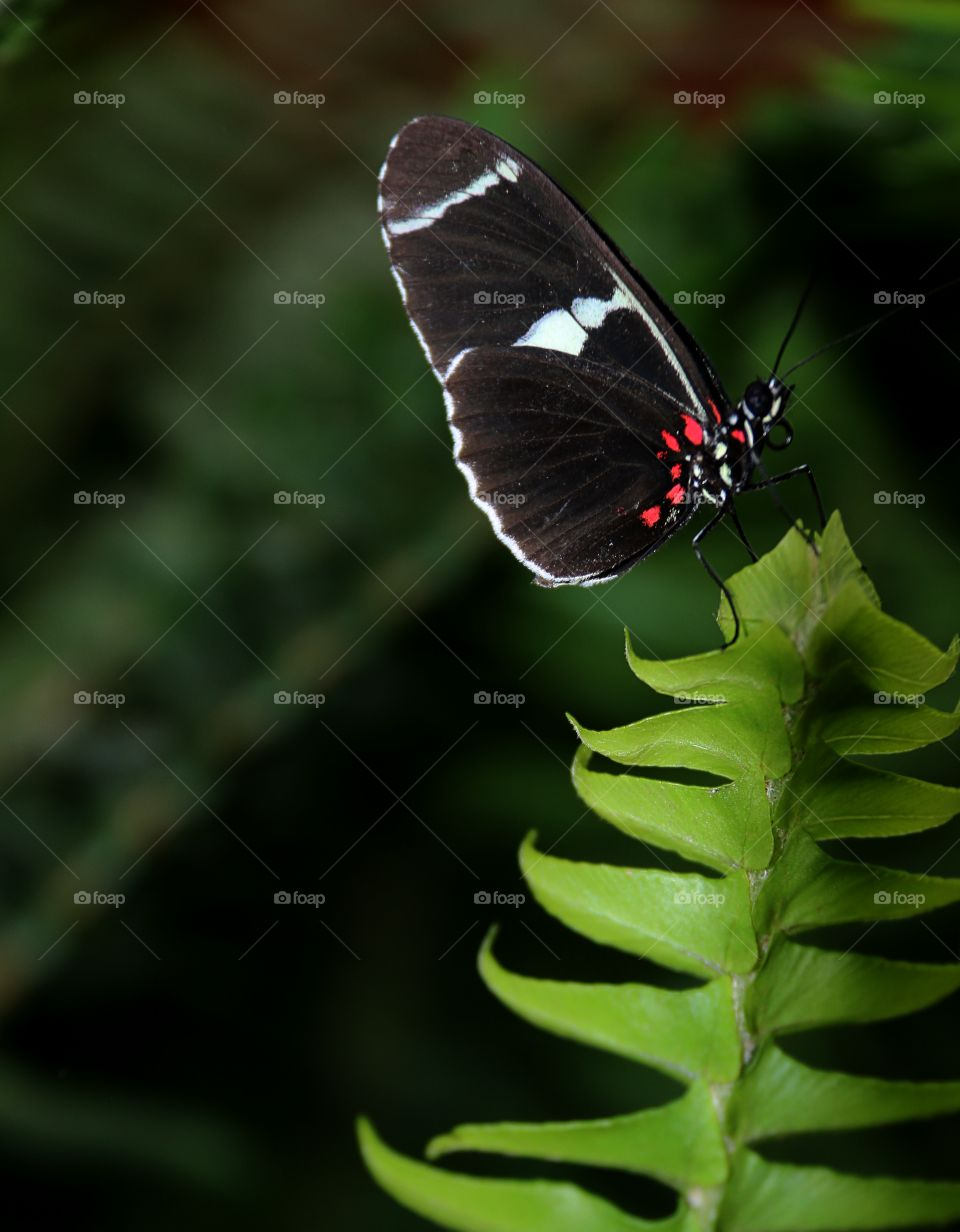Black white and red butterfly on a green leaf close up macro