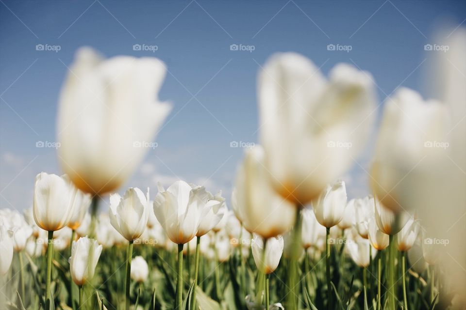 White tulips on a sunny day