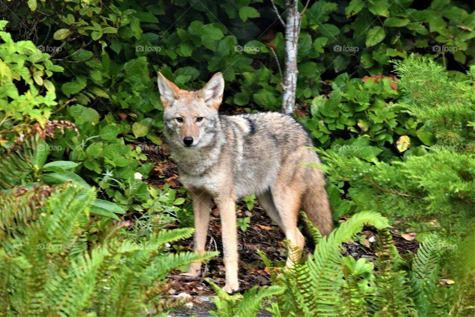 coyote in back yard 10 5 18
