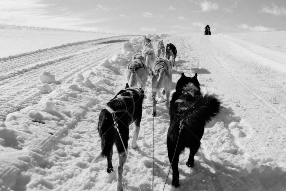 Rear view of sled dogs