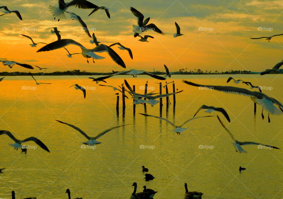 Flock of Seagulls flying during the sunset