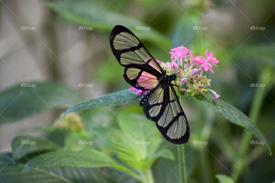 Glasswing Butterfly with transparent wings on a pink flower