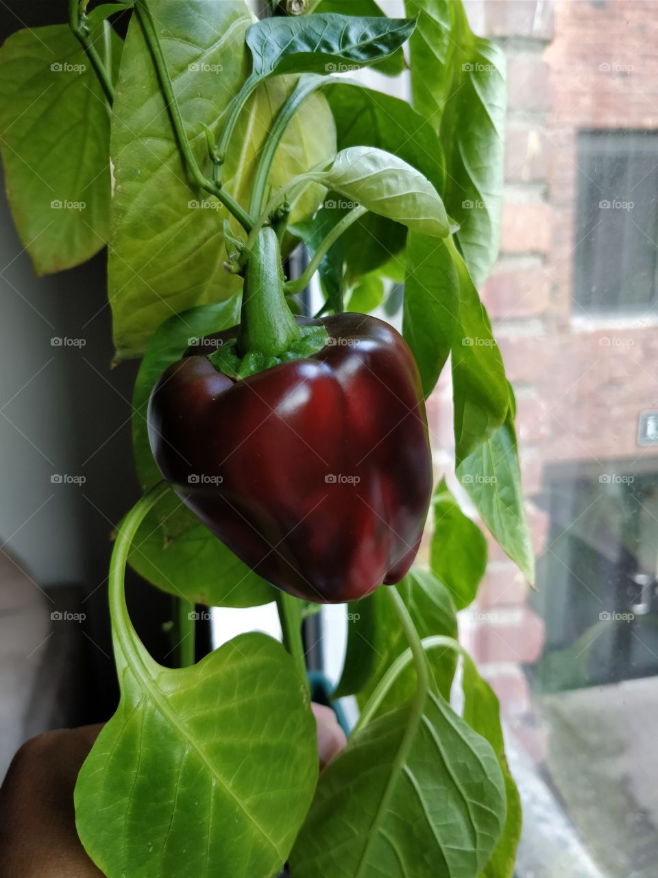 Everything grows with love. Bell pepper is the answer...