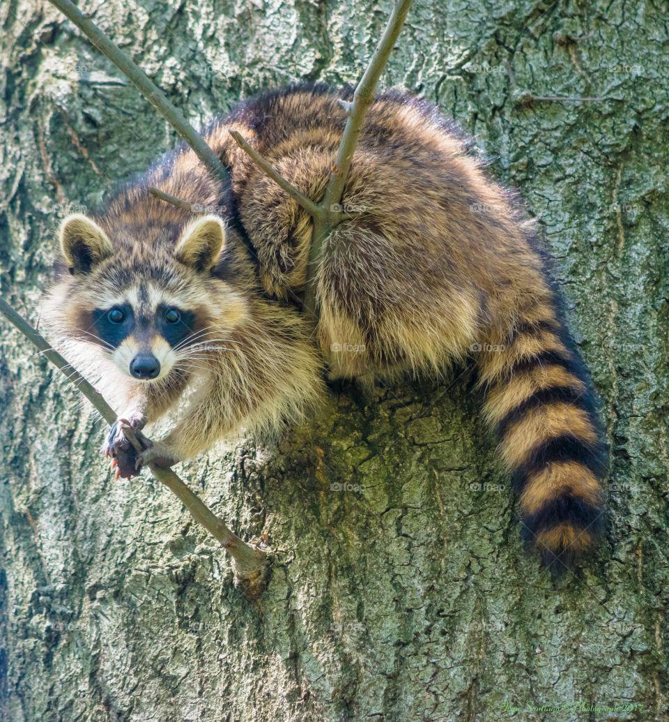 Raccoon hanging around