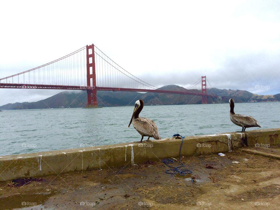 Rear view of bird near golden gate bridge, San Francisco