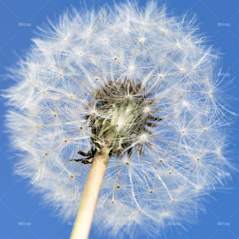 First Signs if Spring, dandelions, seeds and blue sky