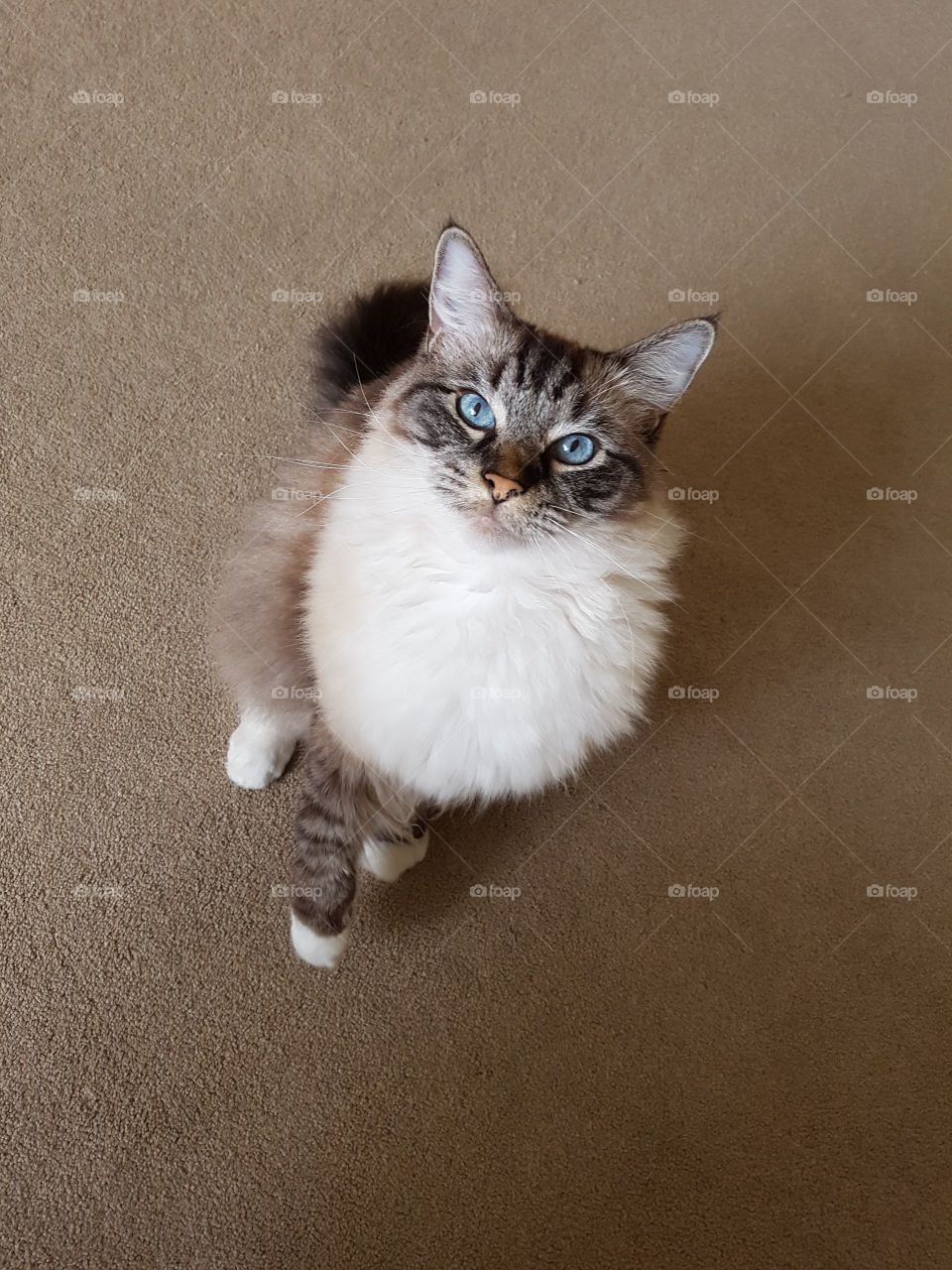 Portrait of ragdoll cat