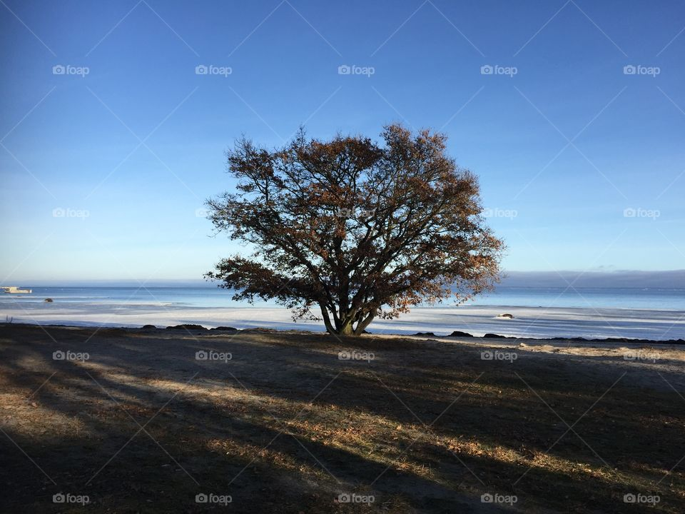 Oaktree at Vita Sand, Kalmarsund, Sweden