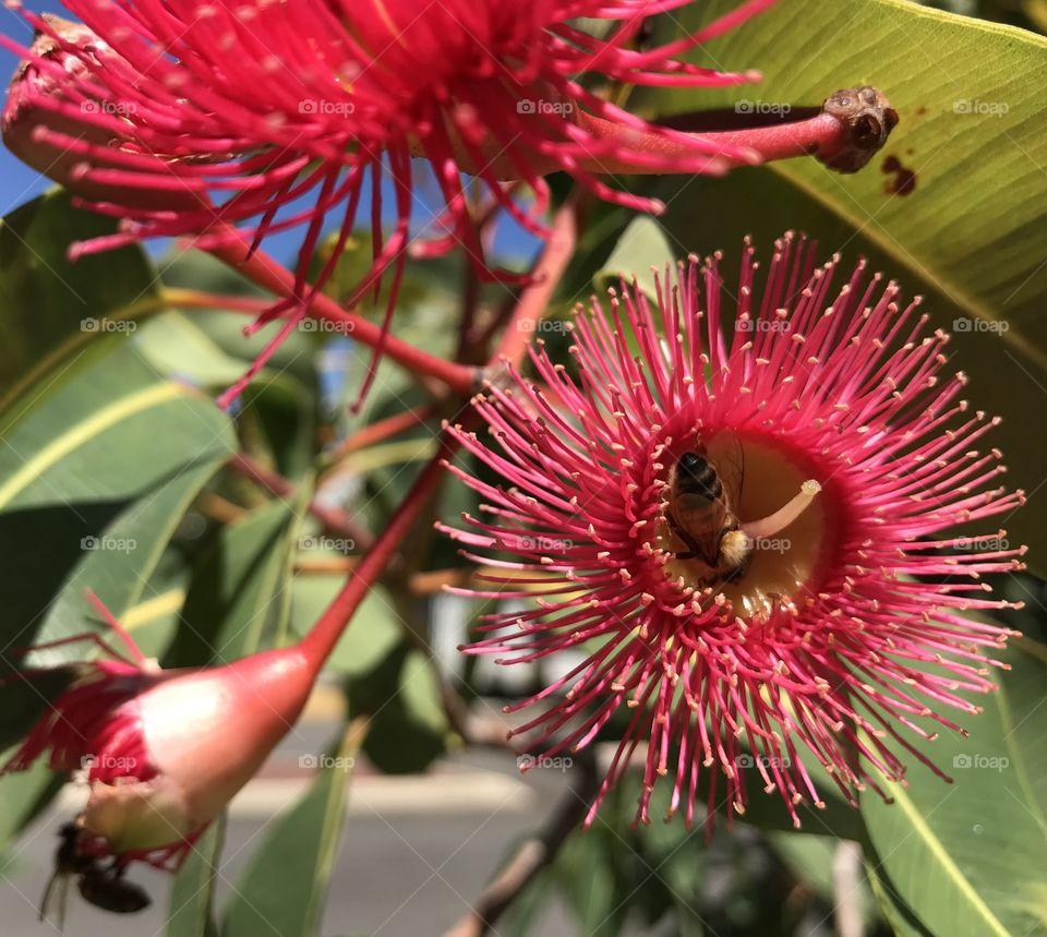 Eucalyptus flowers