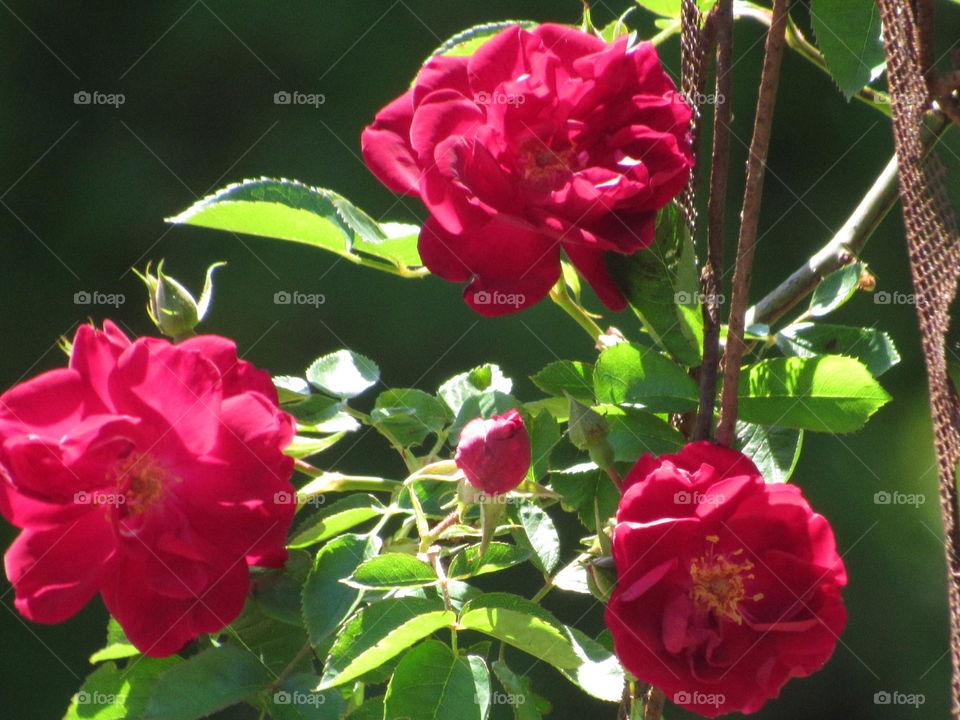 Flower, Nature, Flora, Leaf, Rose