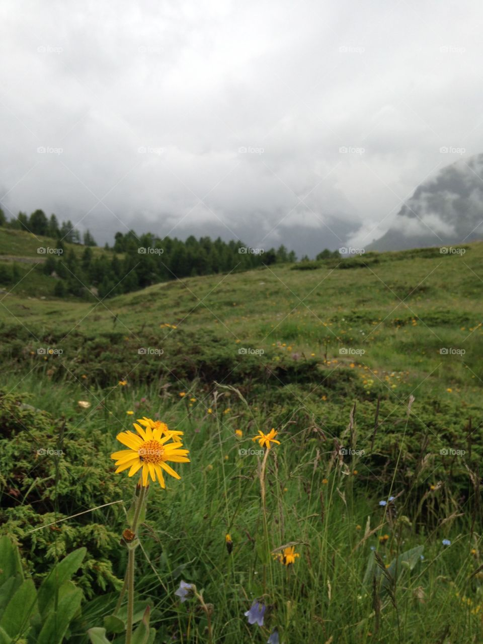 A yellow flower at the top of a mountain in Switzerland, Zermatt. I took it while adventuring around the top of a mountain looking for some excellent potential photos for my natural world project at school years ago.
