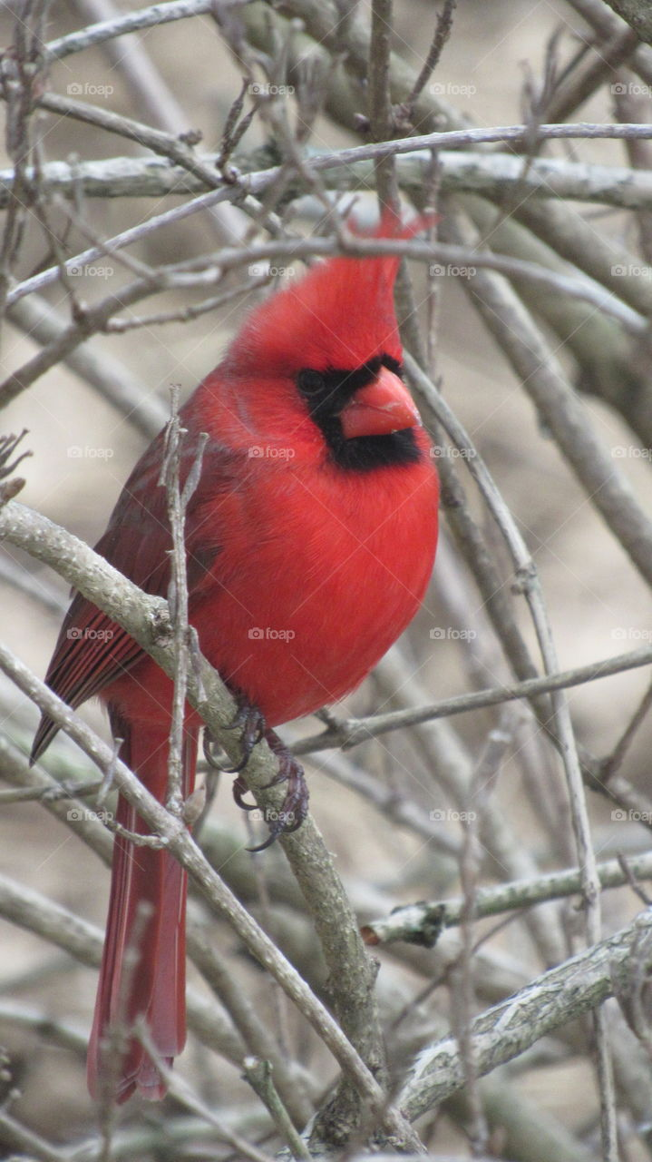 Male Cardinal in a bush in the spring
