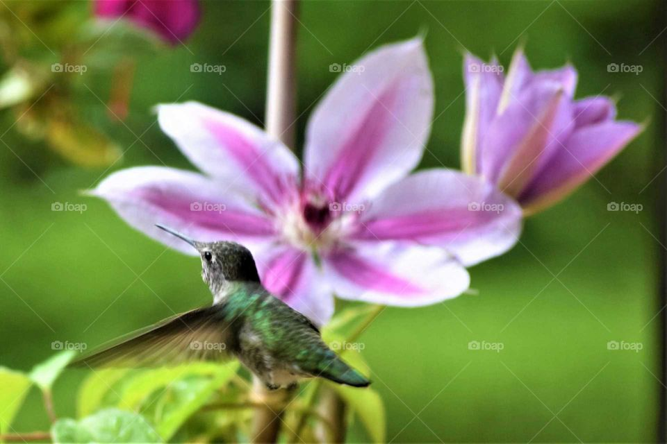 hummingbird in flight by Pink clematis September 17th 2018