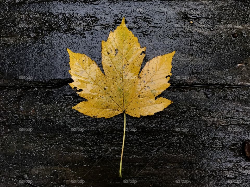 Close-up of maple leaves on wood