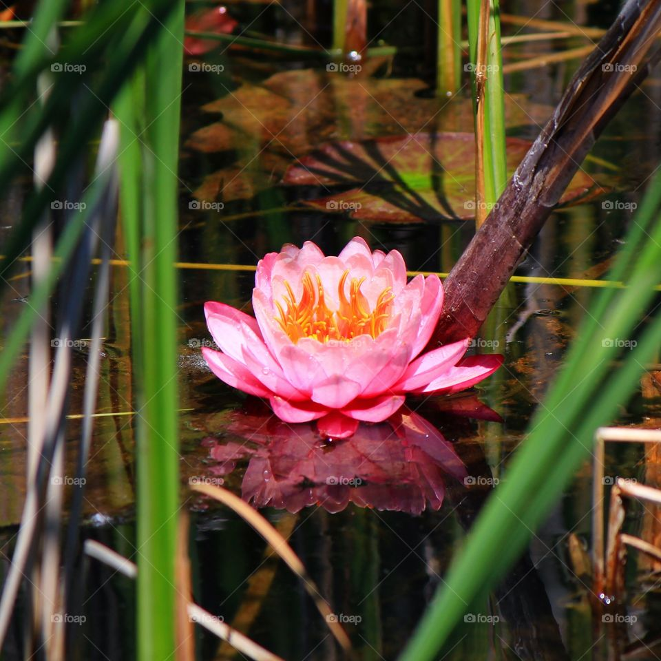 Reflection of waterlily in pond