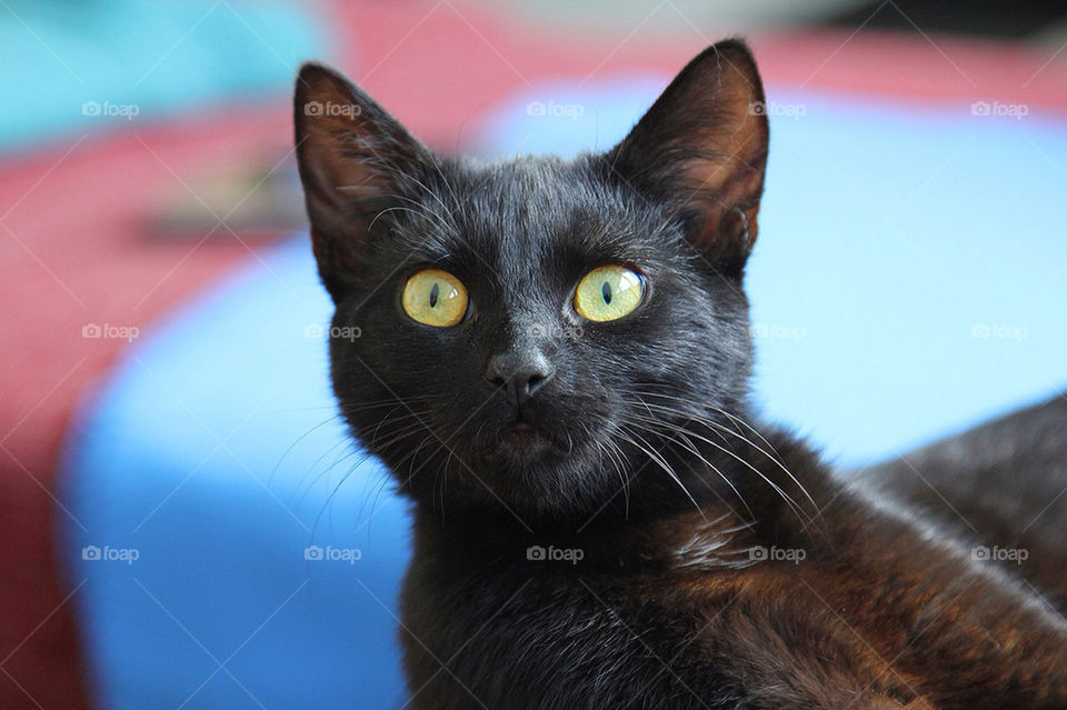model cat pet portrait by dryair