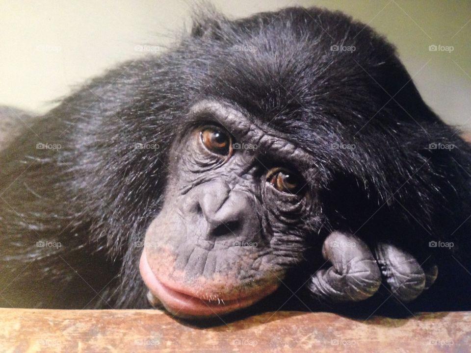 Chimpanzee troglodytes monkey sad