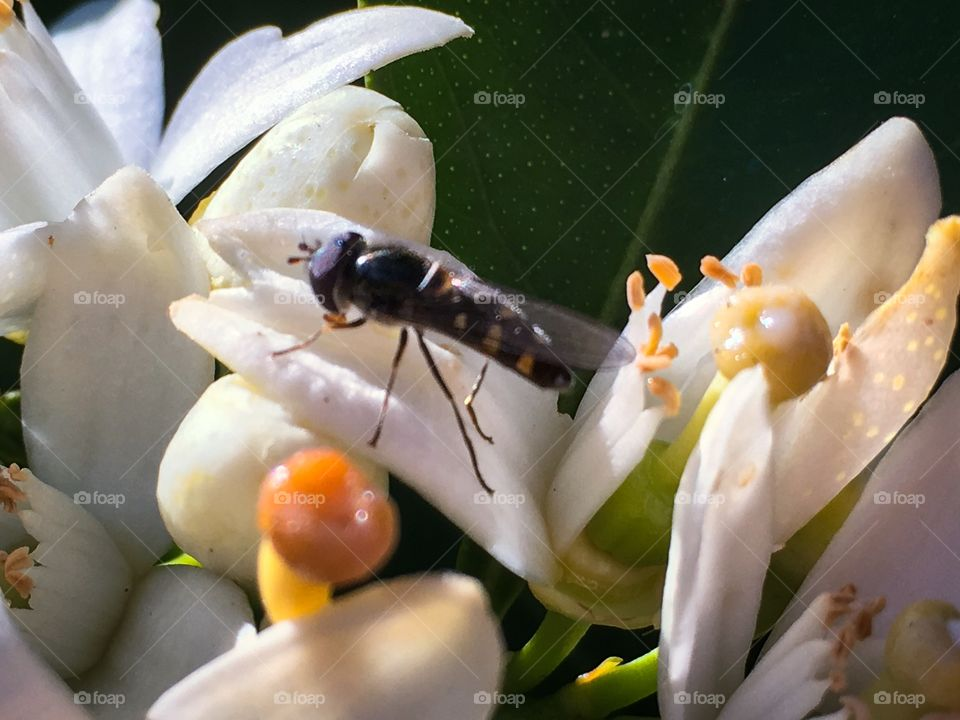 Close-up bee amid the stamen of a blossom
