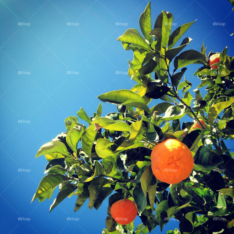 Beautiful orange tree on a sunny day in  Phoenix, Arizona. Captured as