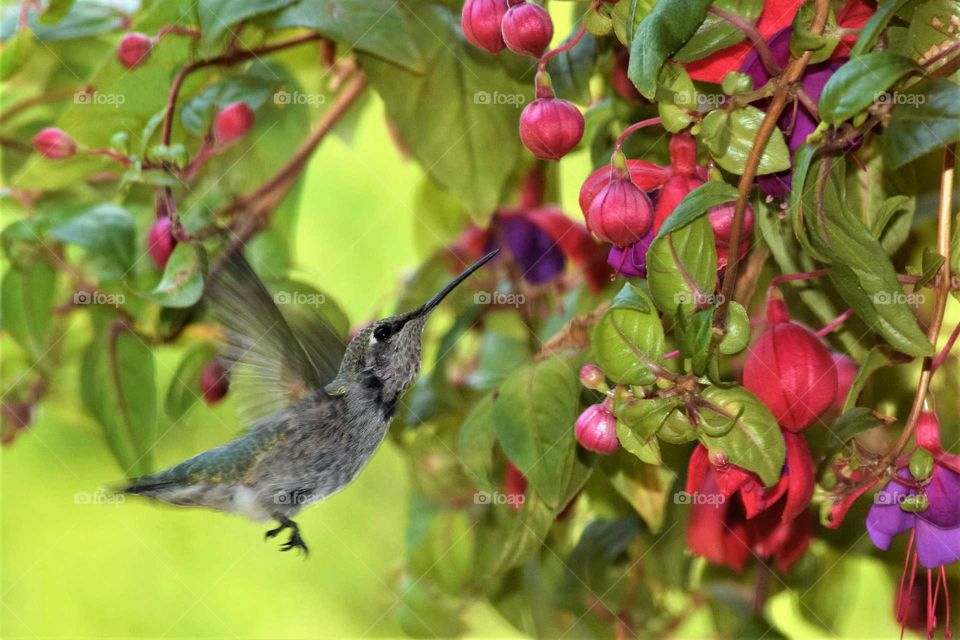 hummingbird in flight with purple and red fuchsia August 16th 2018