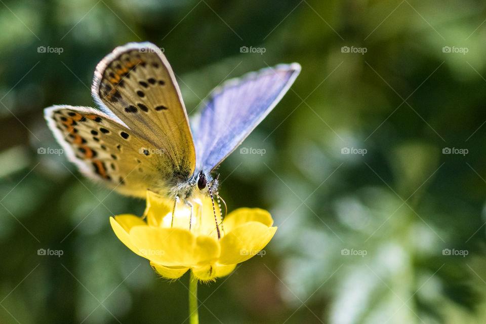 butterfly on a buttercup in the meadow in Sweden
