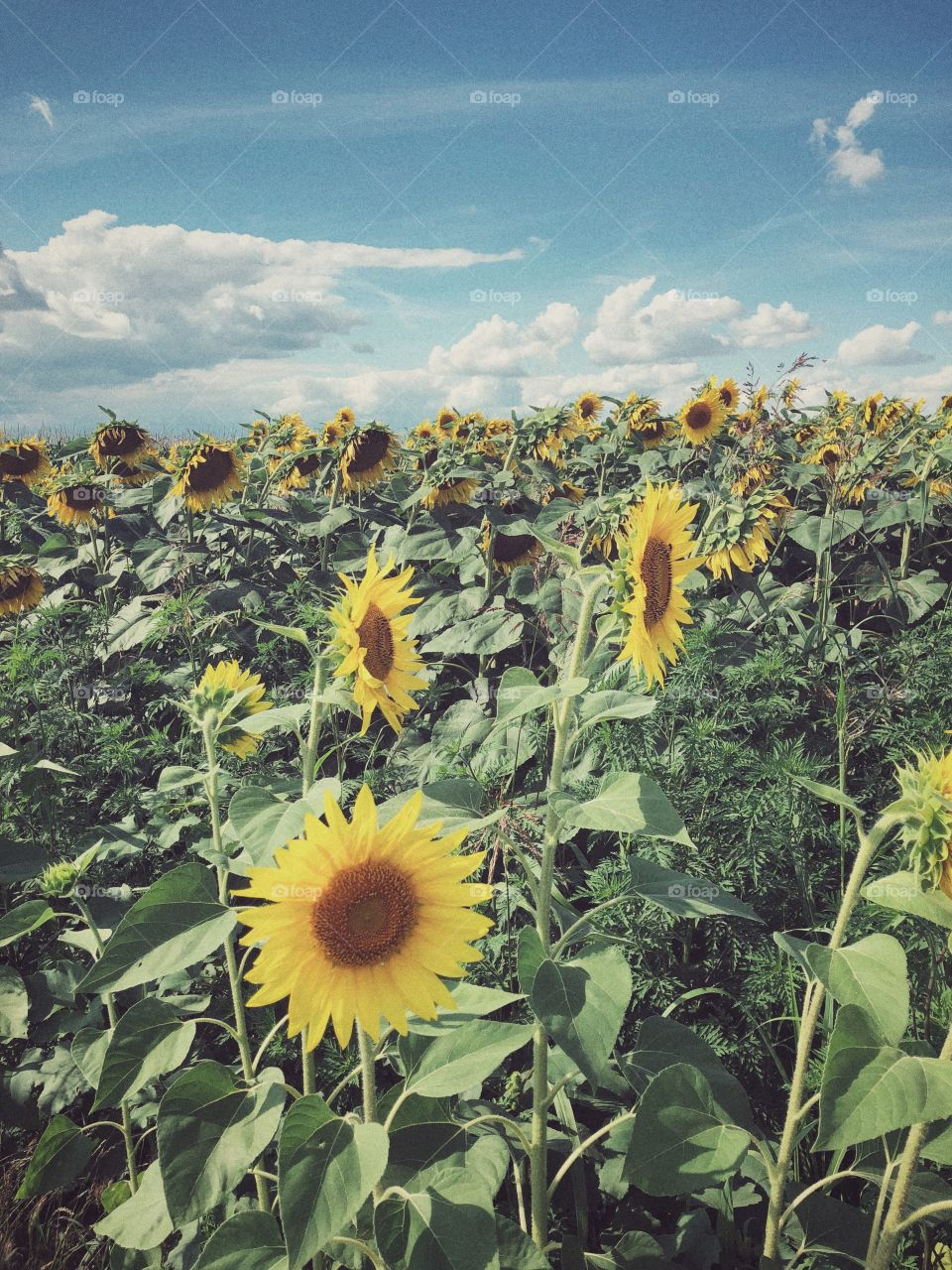 Those precious summer days. The sky, the sunflowers, blue and gold. And a lots and lots of green.