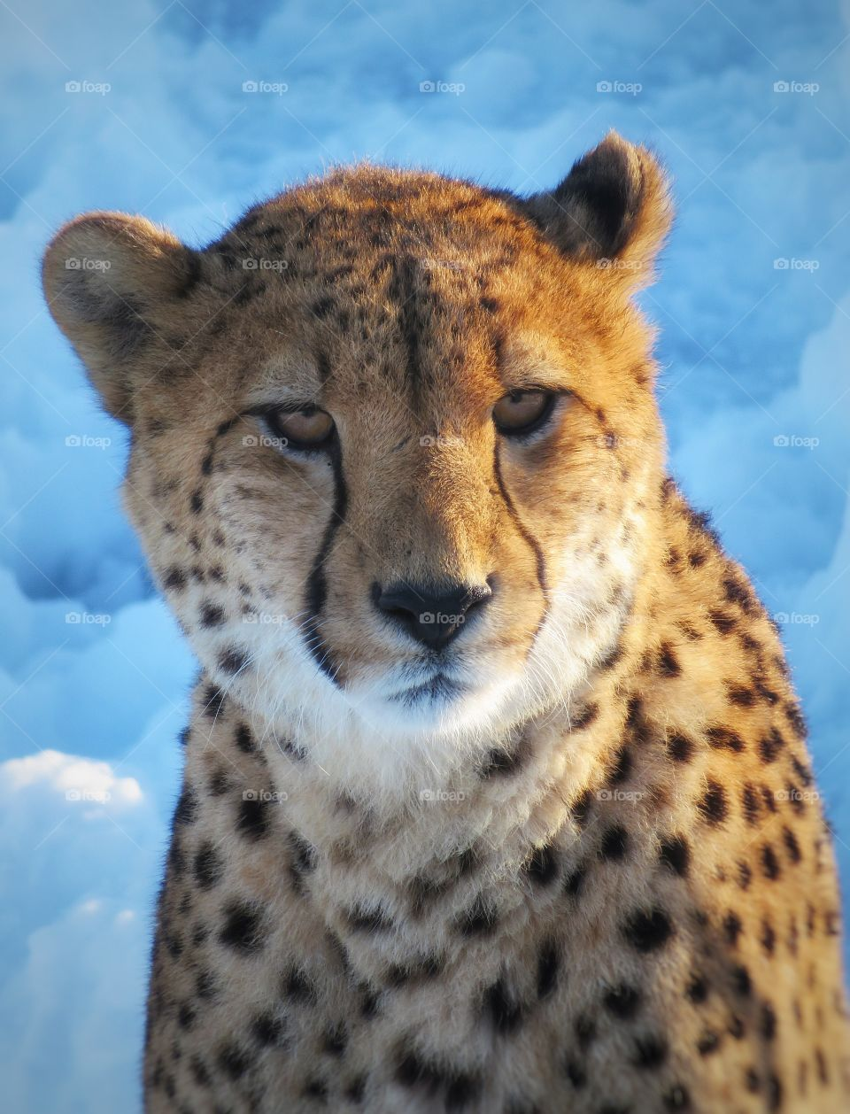 Male cheetah Hemmingford Québec