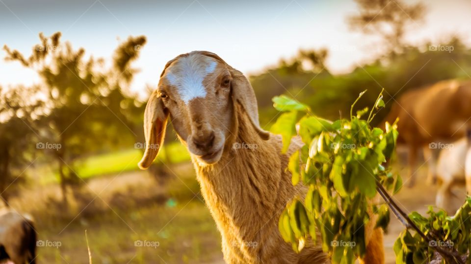 Portrait of goat on field