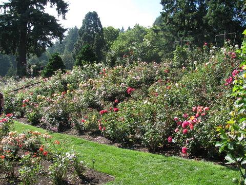 Portland International Rose Test Garden. View inside the garden